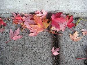 pink autumn leaves 005
